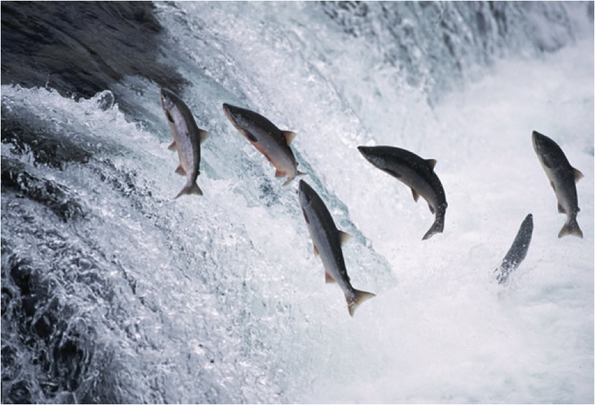 Description: ttp://www.shomreitorah.org/wp-content/upLoads/2013/07/alaska-salmon-jumping.jpg
