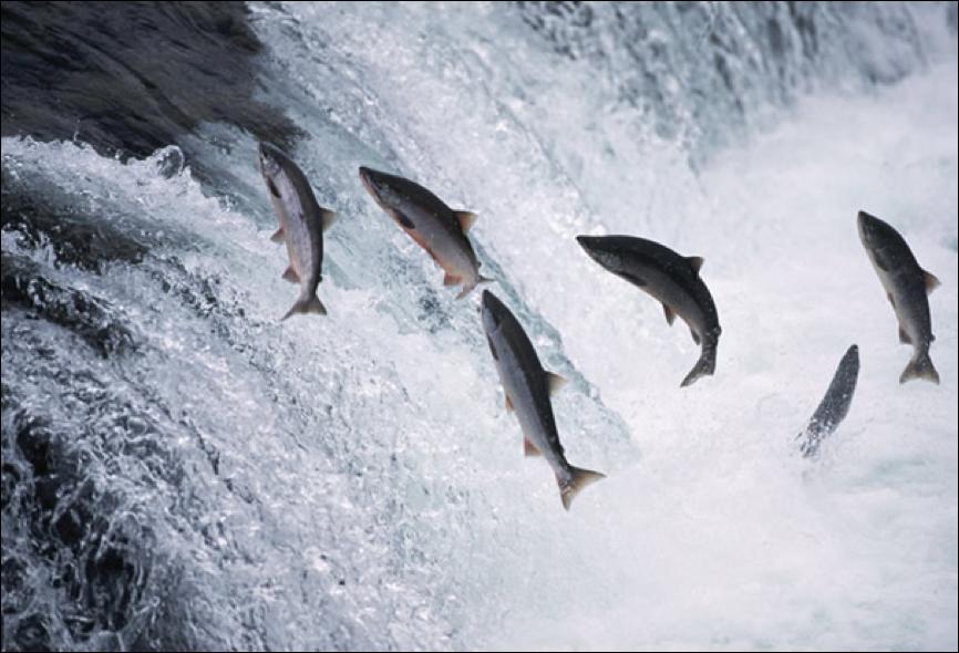 Description: ttp://www.shomreitorah.org/wp-content/upLoads/2013/07/alaska-salmon-jumping.jpg